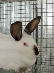 Top Market Rabbitry - Californian Rabbit